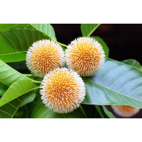 印度Attar Kadamb 黃梁木(團花) 5ml