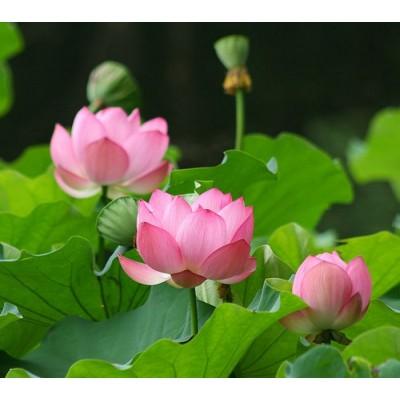 印度Attar Pink Lotus 粉紅蓮花 5ml