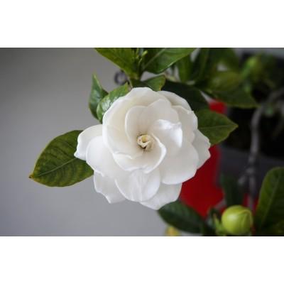 印度Attar Gardenia 梔子花 5ml