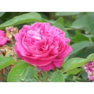 印度Attar Gulab/Rose 玫瑰 5ml