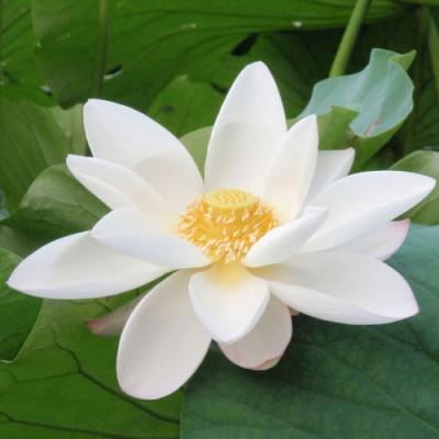 印度Attar White Lotus 白蓮花/荷花 5ml