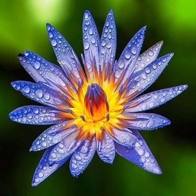 印度Attar Blue Lotus 藍睡蓮 5ml